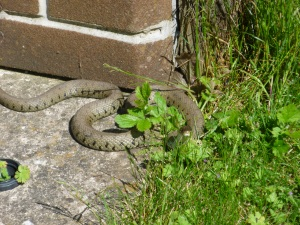 Grass snake n Ludgate Drive